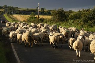9907_06_22---Flock-of-sheep_web